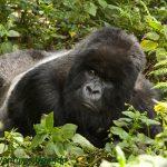 28 Years of Gorilla Tourism