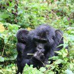 Bwindi Forest Gorilla
