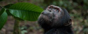 Uganda Chimpanzee Tour