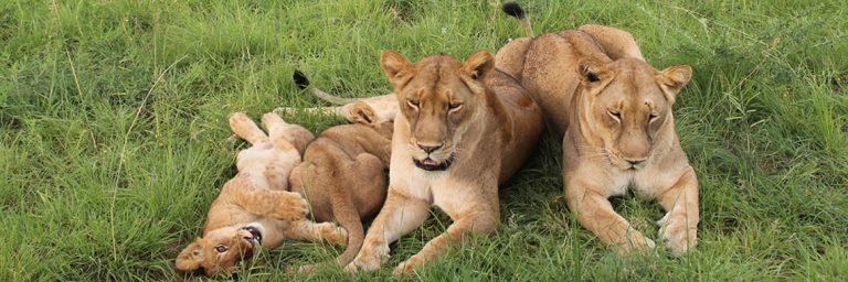 Lions in Queen Elizabeth Game Park