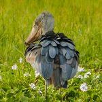 Shoebill in Murchison Falls