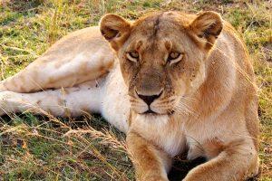 Uganda Lion