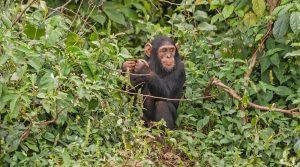 Ngamba Chimpanzee Sanctuary