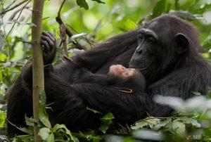 Kibale forest chimpanzee tracking